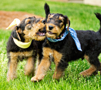 Buy a Championhip Pedigree Airedale Terrier puppy