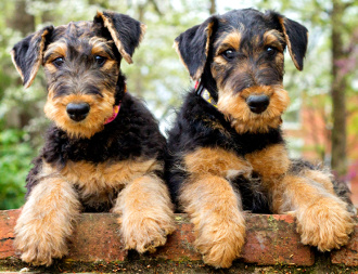 2 airedale terrier puppies