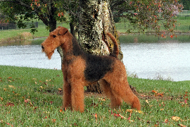 Airedales have a family friendly temperament