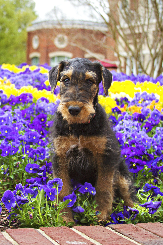 Training an airedale terrier to sit