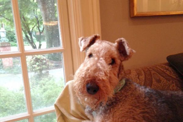 airedale on the couch