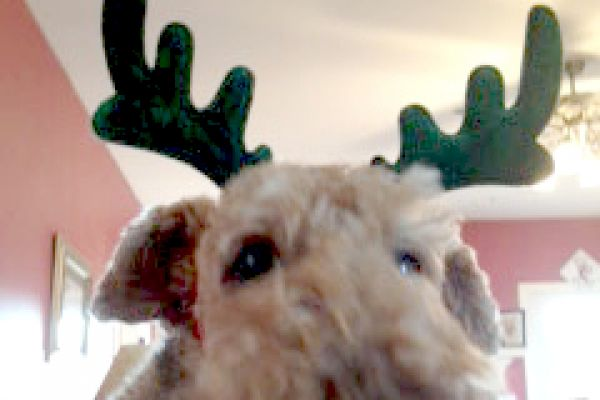 Christmas airedale