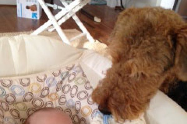airedale sniffing a baby