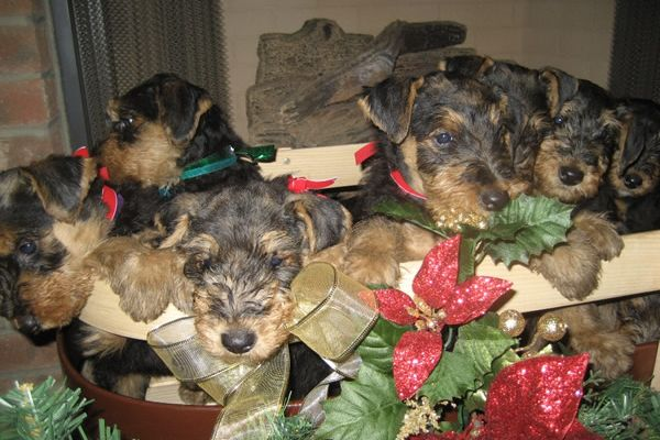 airedale puppies at the holidays