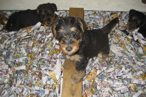 hungry airedale puppies
