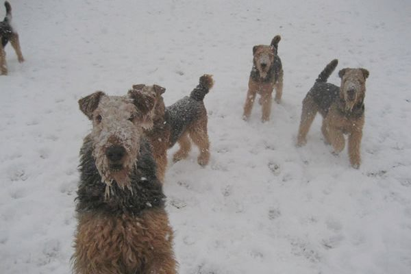 four airedales playing in the snow