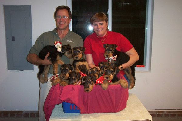 A lot of airedale puppies!