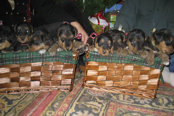 Airedale puppies in baskets