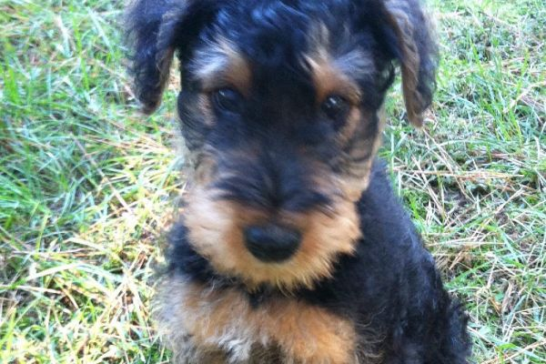 eight week old airedale