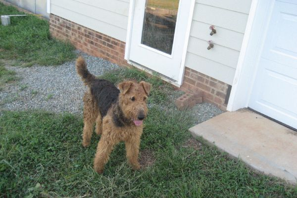 airedale by the doggy door