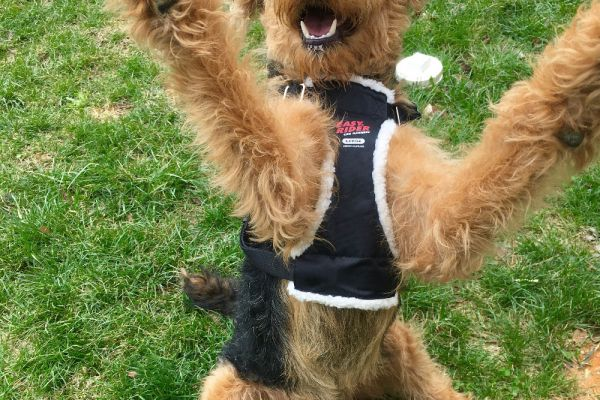 airedale standing on hind legs