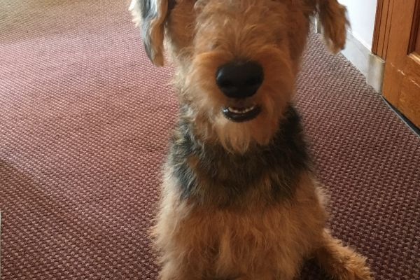 airedale smiling on the carpet