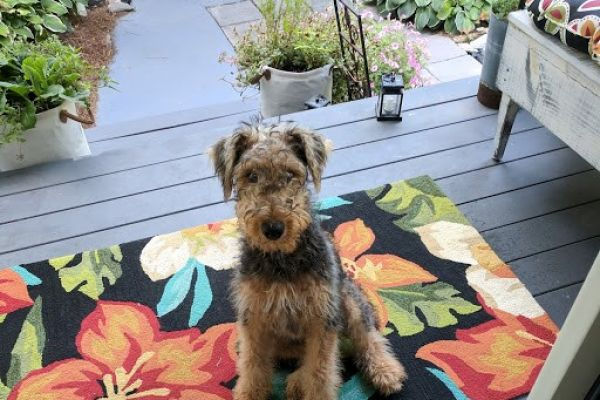 airedale on porch furniture