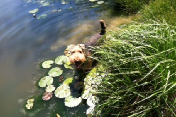 Airedale Wingo playing in lake