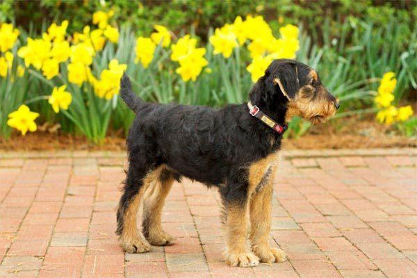 Atticus airedale terrier