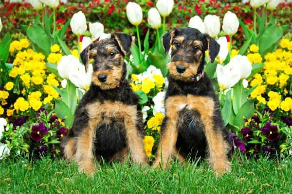Allie and Atticus airedale terriers