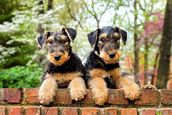 airedale terrier twins