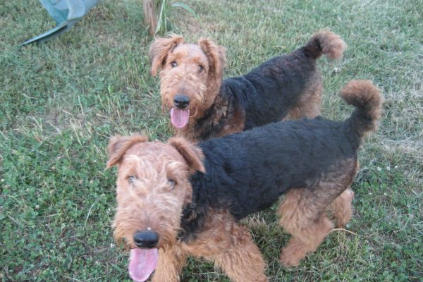 airedale puppies after 6 months old
