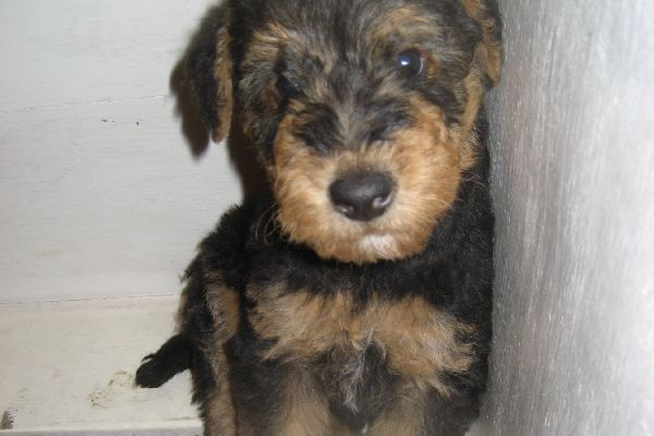 cute airedale puppy