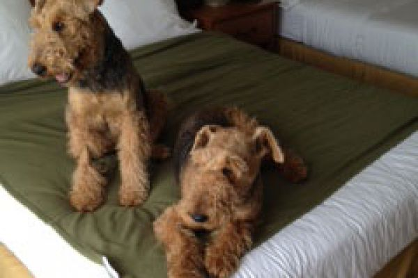 2 airedales in a dog bed