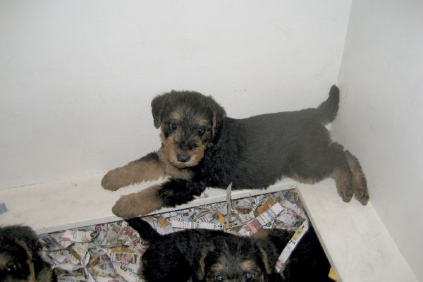 lounging airedale terrier puppy