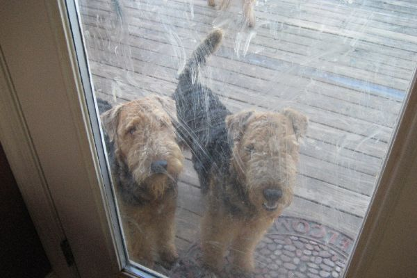 airedale terriers on the porch