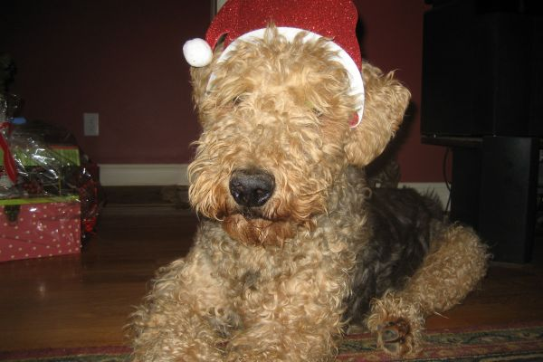 cosmo airedale terrier