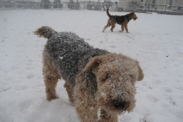 airedale terriers in the snow