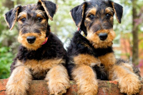 cute airedale puppies