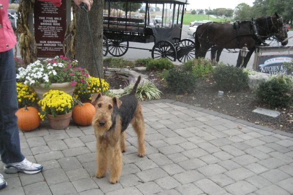 airedale terrier at the market