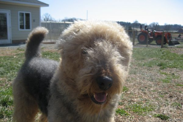 airedale terrier hair
