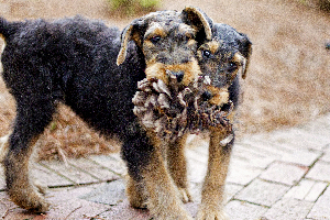 Two Playful Airedale Terrier Puppies